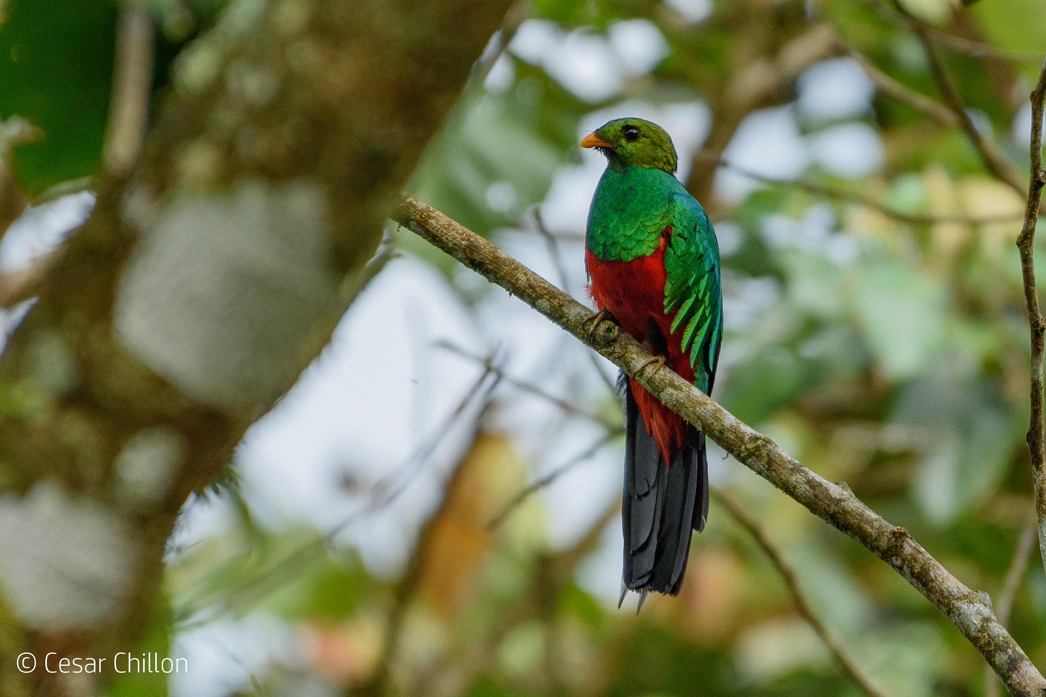 Pharomachrus auriceps El Sutú, Camino Costa Rica, Risaralda