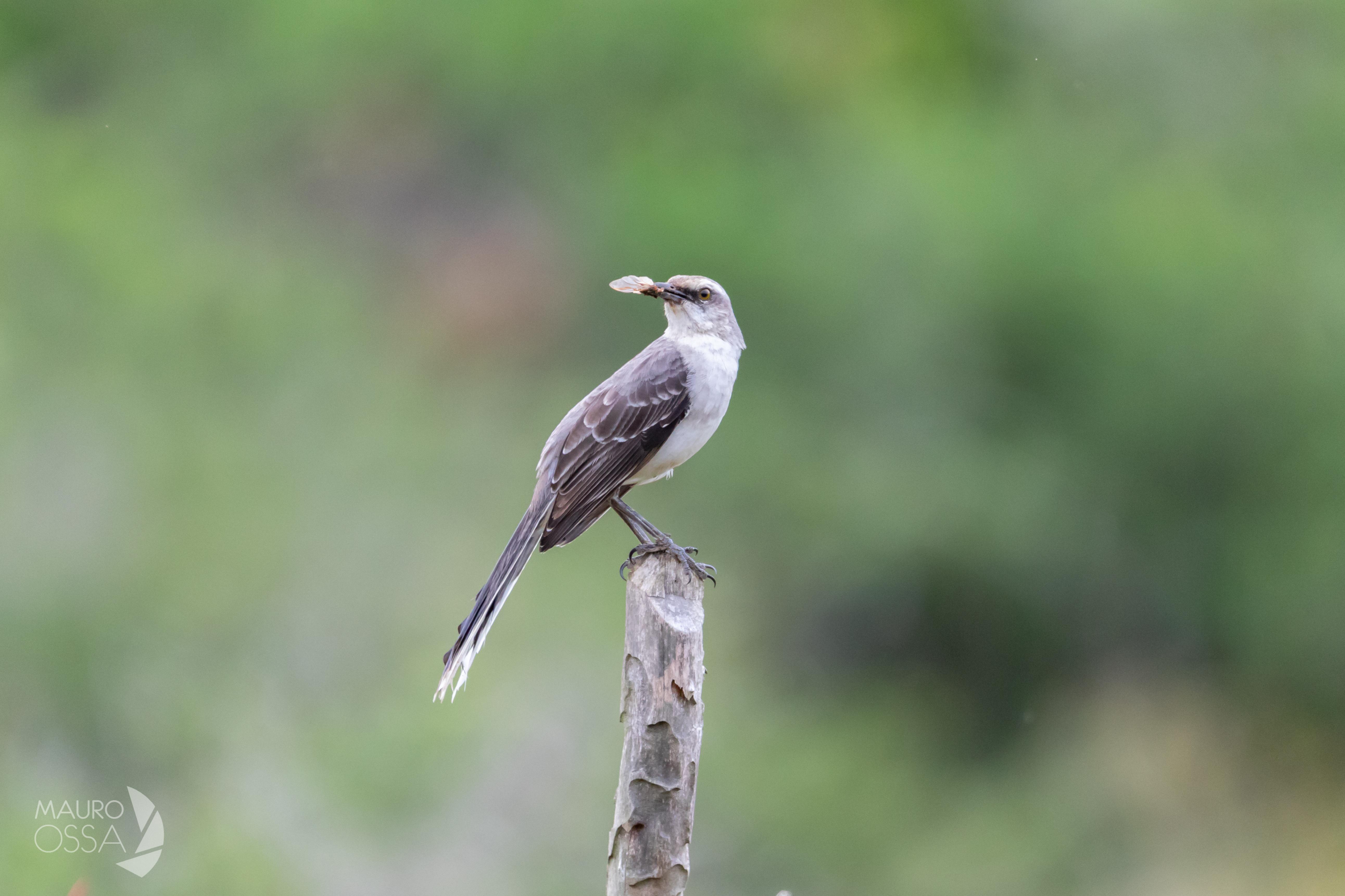 Sinsonte Común:Tropical Mockingbird:Mimus gilvus2