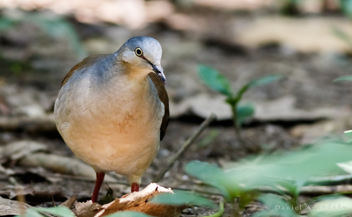 Leptotila plumbeiceps | Grey-headed Dove | Tórtola Cabeciazul