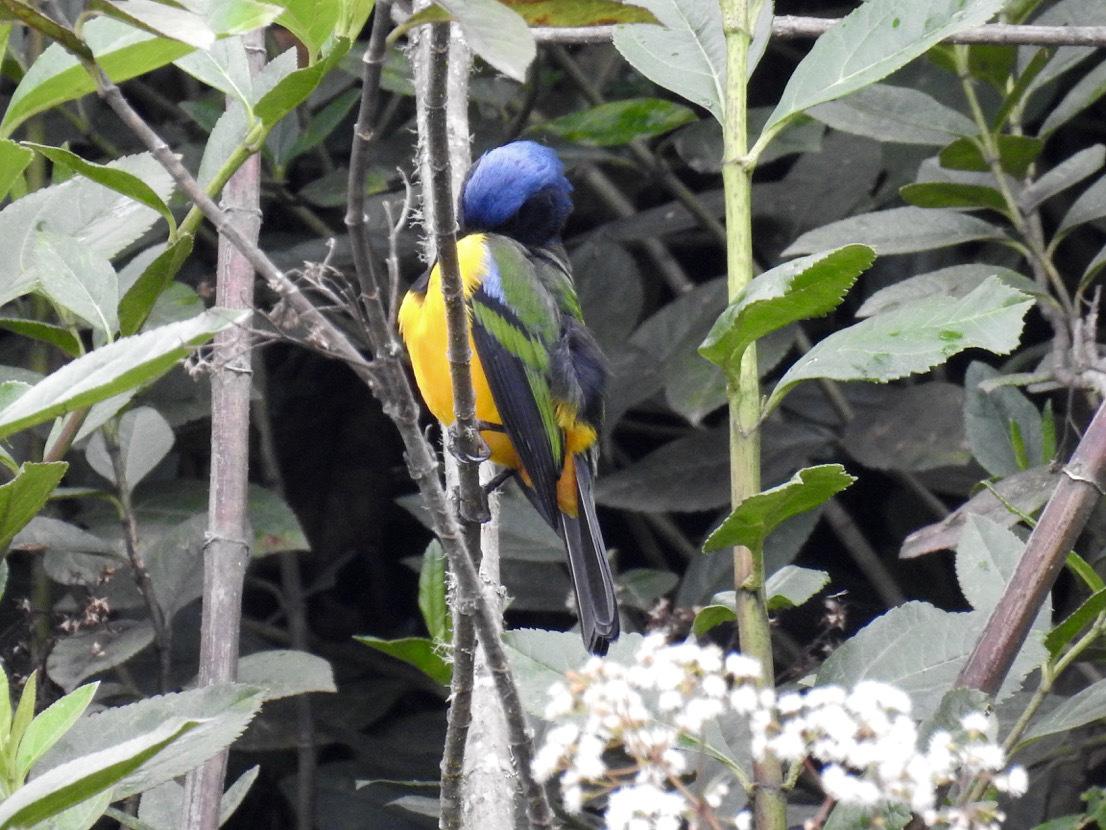 cnemathraupis-eximia