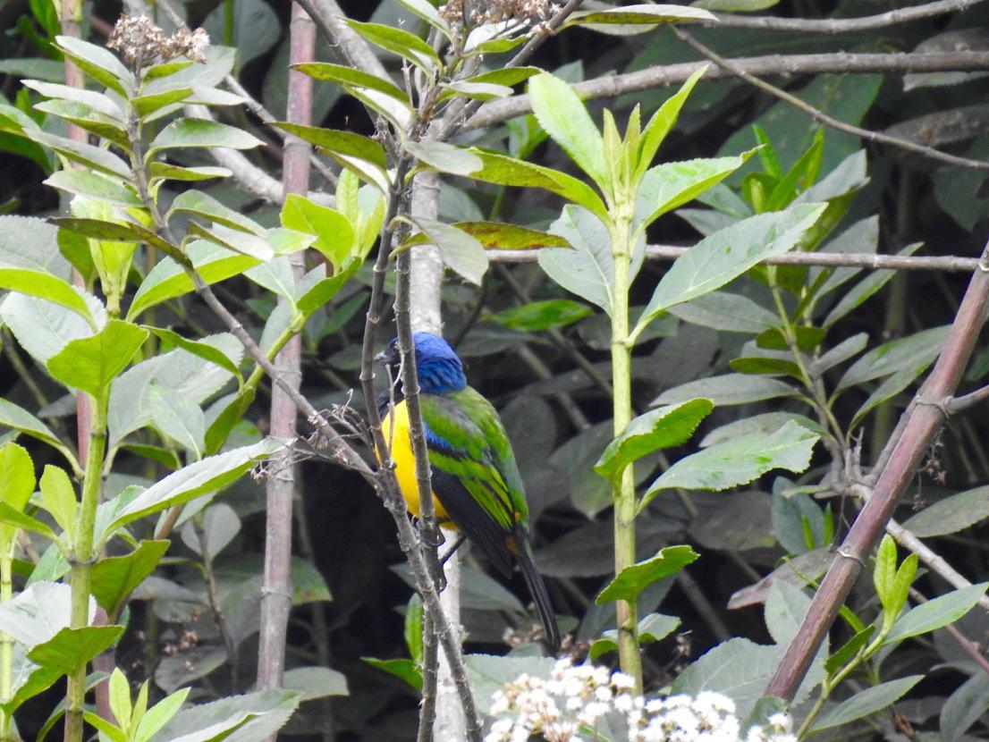 cnemathraupis-eximia1