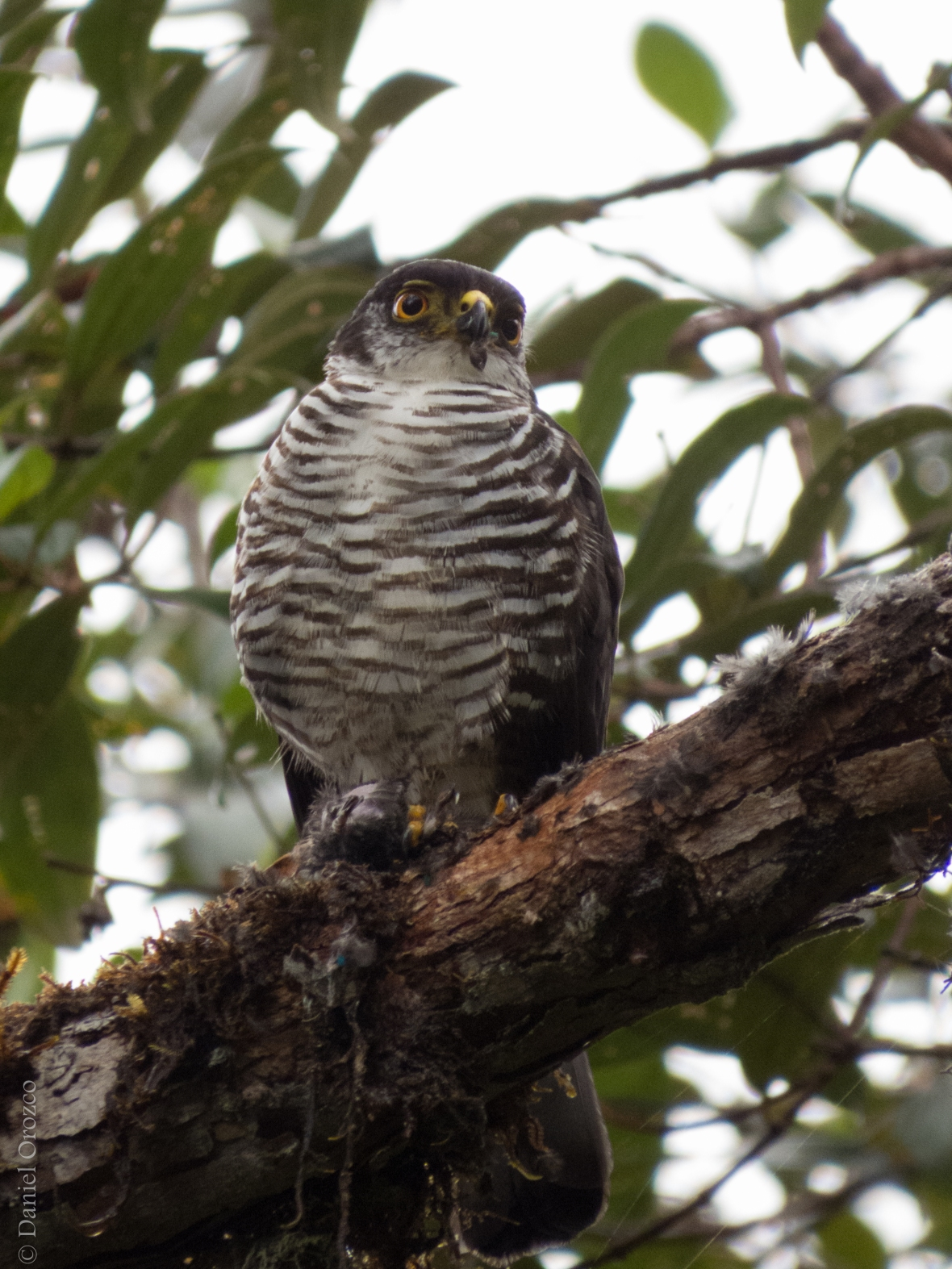 Accipiter collaris