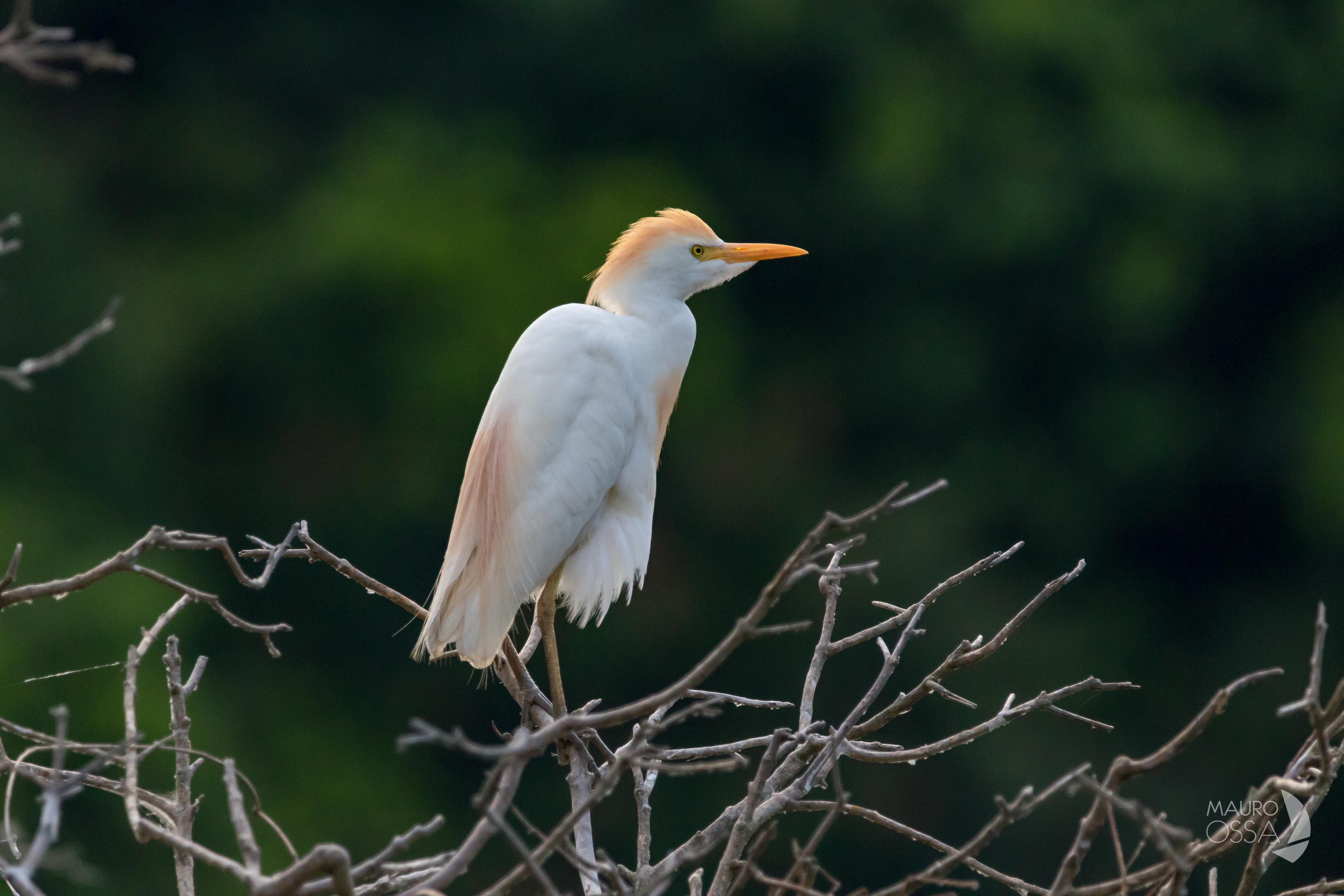 Bubulcus ibis2