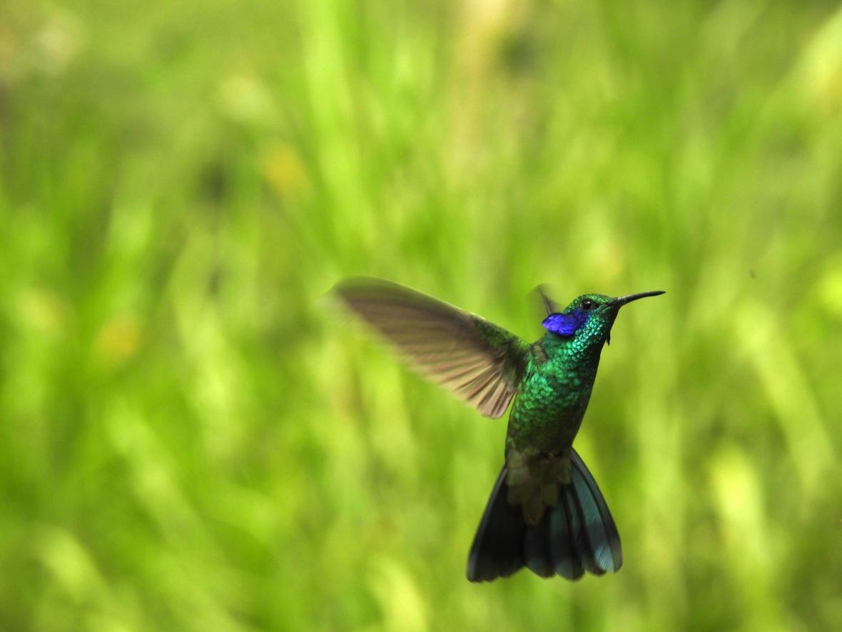 colibri-coruscans2