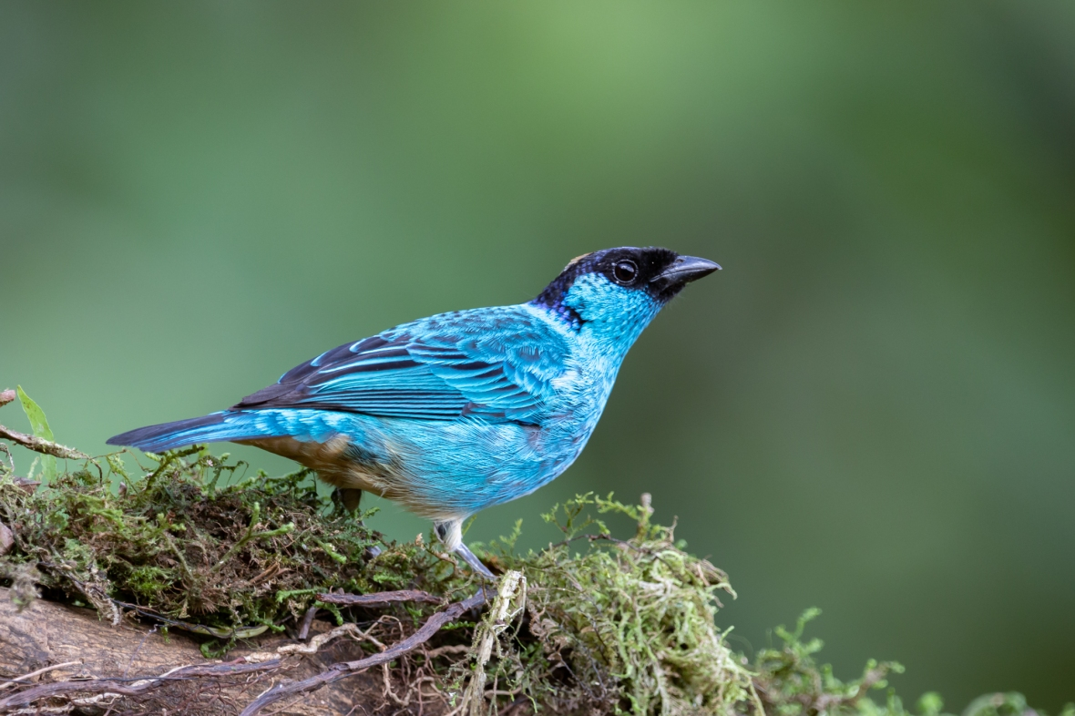 Tangará Nuquidorada:Golden-naped Tanager:Tangara ruficervix