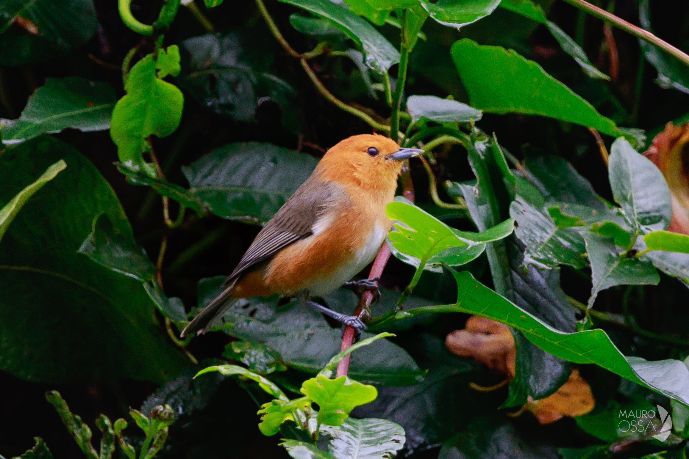Thlypopsis ornata:Rufous-chested tanager