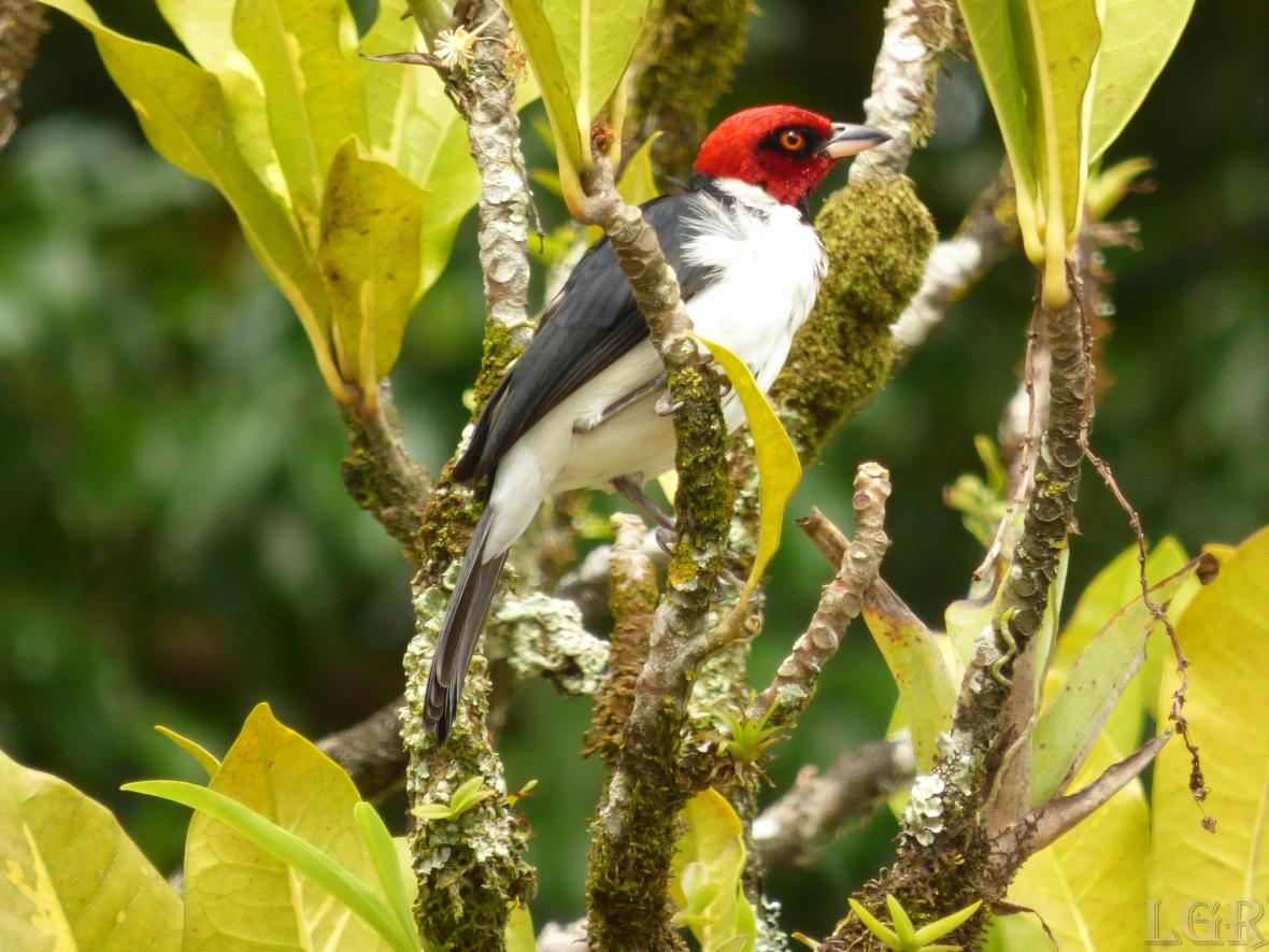 Cardenal pantanero - Red-capped Cardinal (Paroaria gularis)