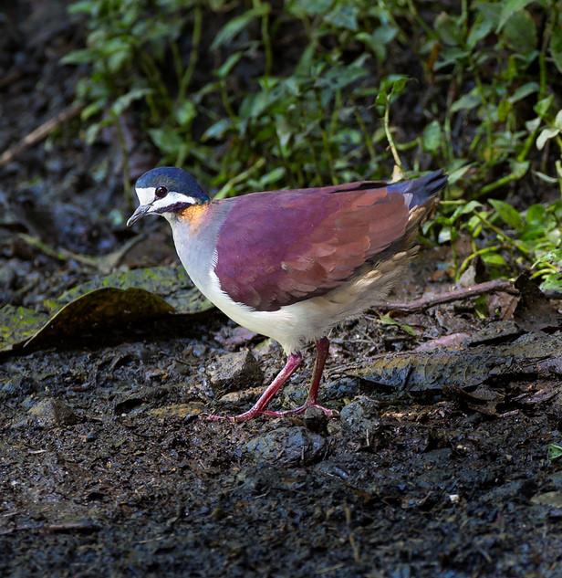 Geotrygon purpurata Anchicaya