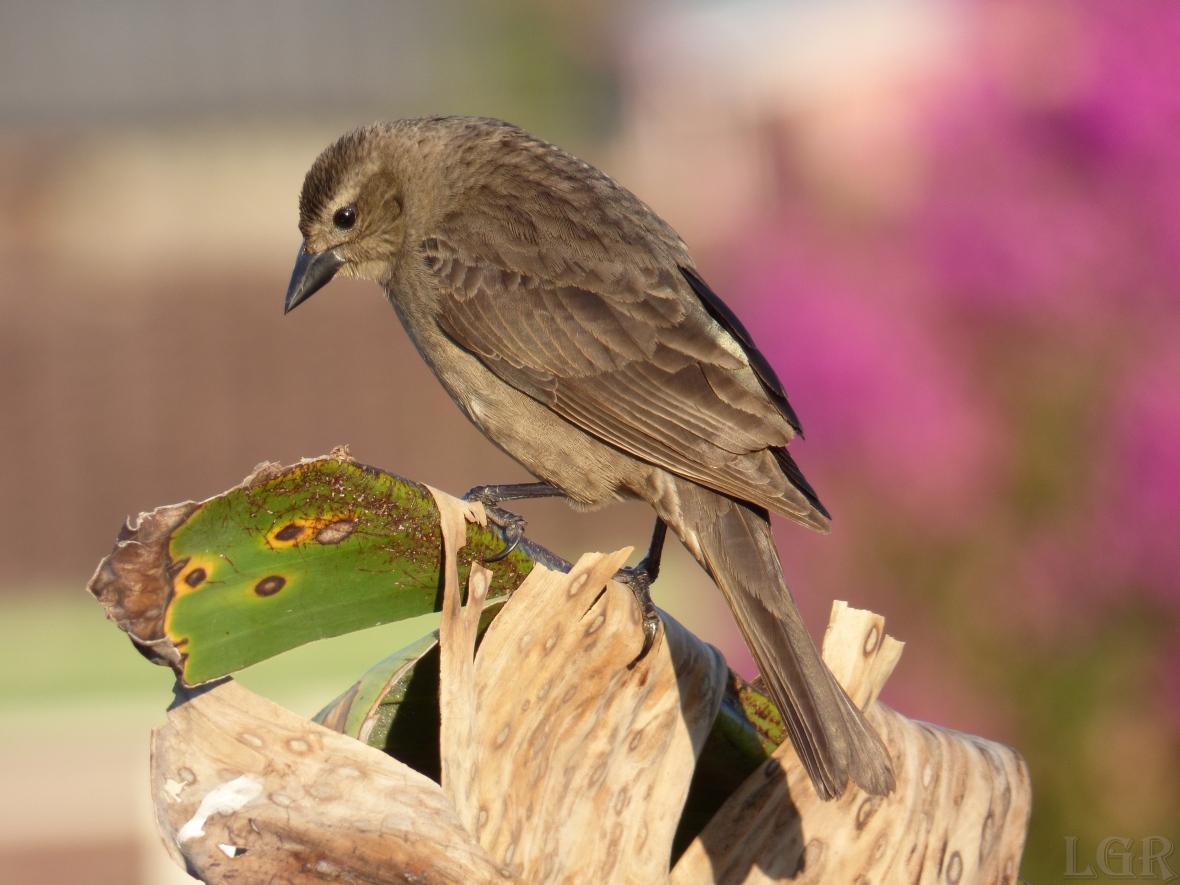 Chamón común - Shiny Cowbird (Molothrus bonariensis) (♀)