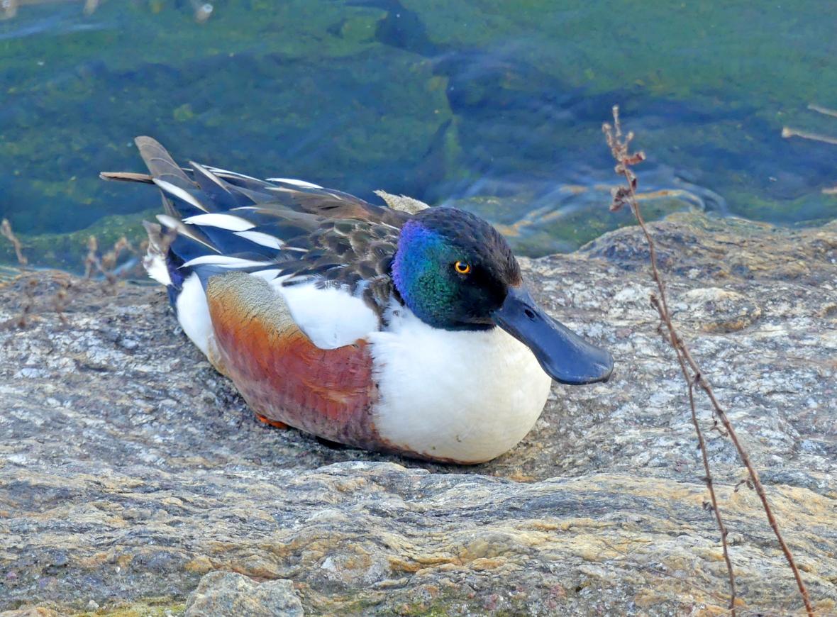 Pato Cucharo, Northern Shoveler m (Anas clypeata) central Park, New York. NY
